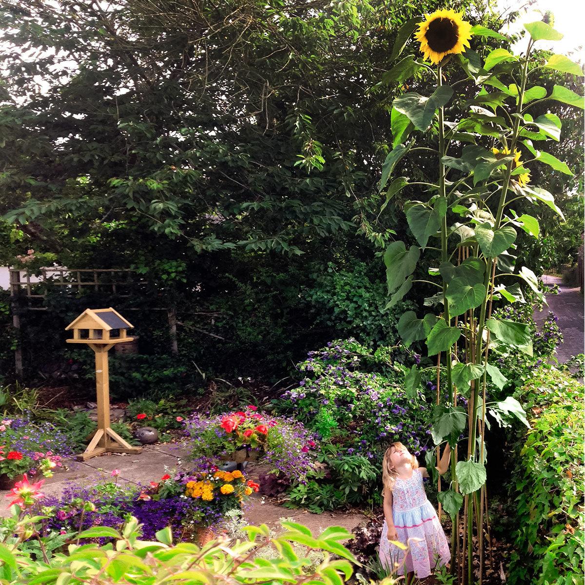 Riesen-Sonnenblume Giraffe