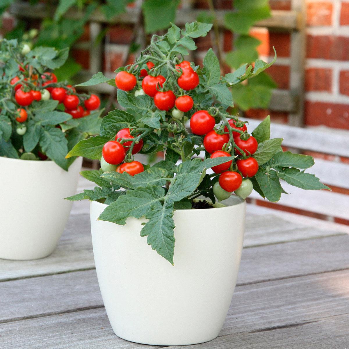 gem se pflanze zwerg tomate von g rtner p tschke. Black Bedroom Furniture Sets. Home Design Ideas