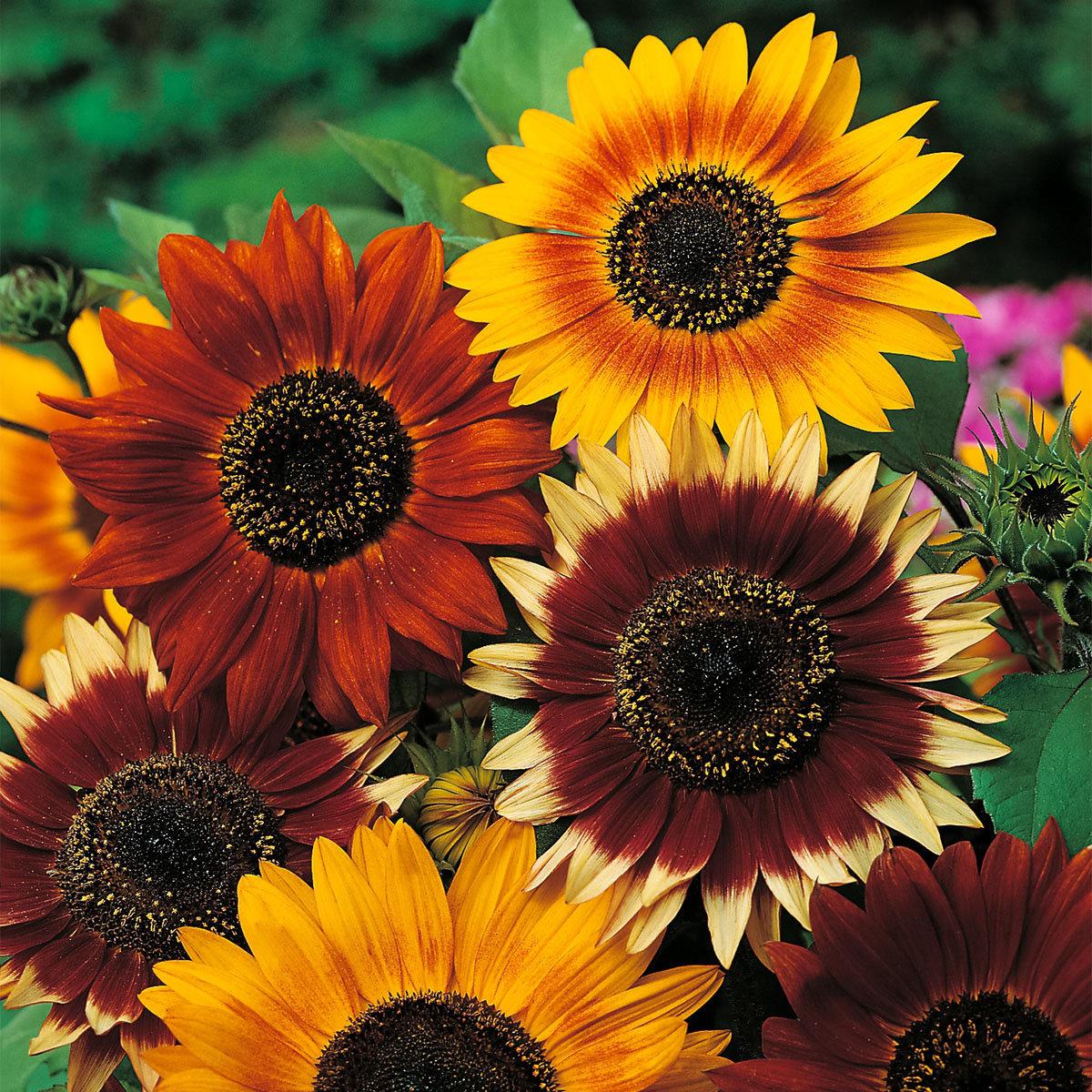 Sonnenblumensamen Herbstschönheit