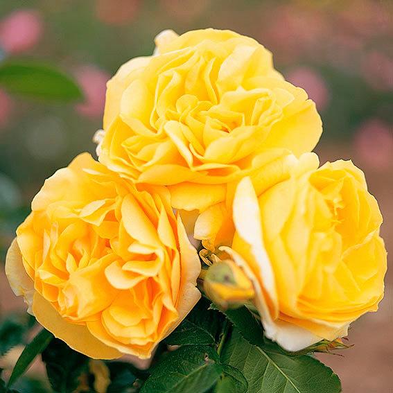 Edelrose Michelangelo ®, im 4-Liter-Topf