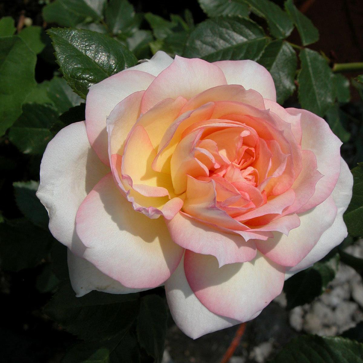 Rose Tchaikovski®, im 4-Liter-Topf