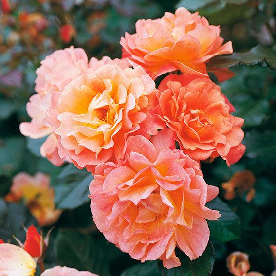 Rose Westerland ®, im 5,5-Liter-Topf