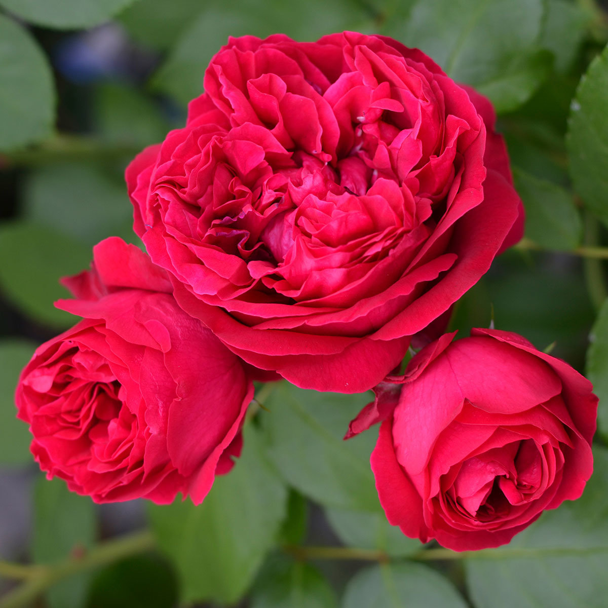Rose Red Eden Rose®, im 5,5-Liter-Topf