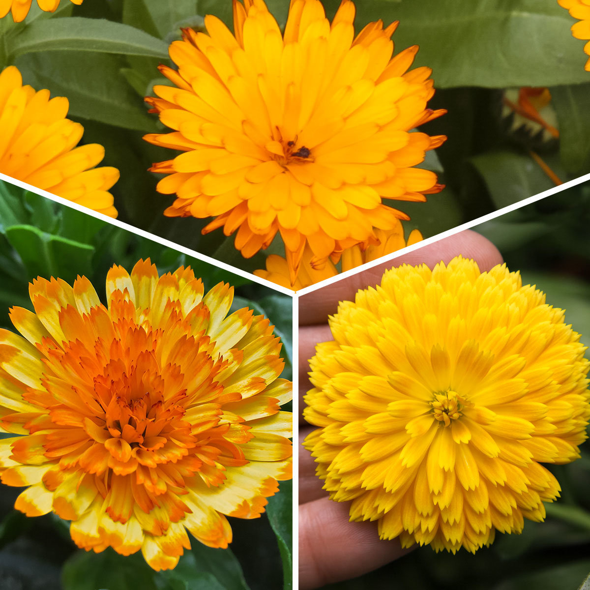 Sortiment Winterharte Calendula Winter Wonders®
