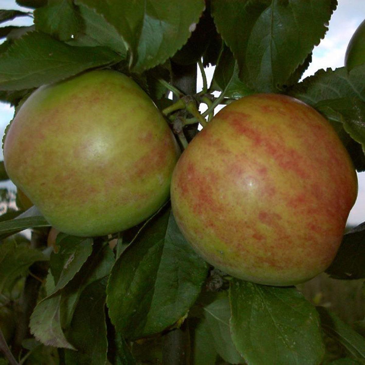 Apfel Gravensteiner, 2-jährig
