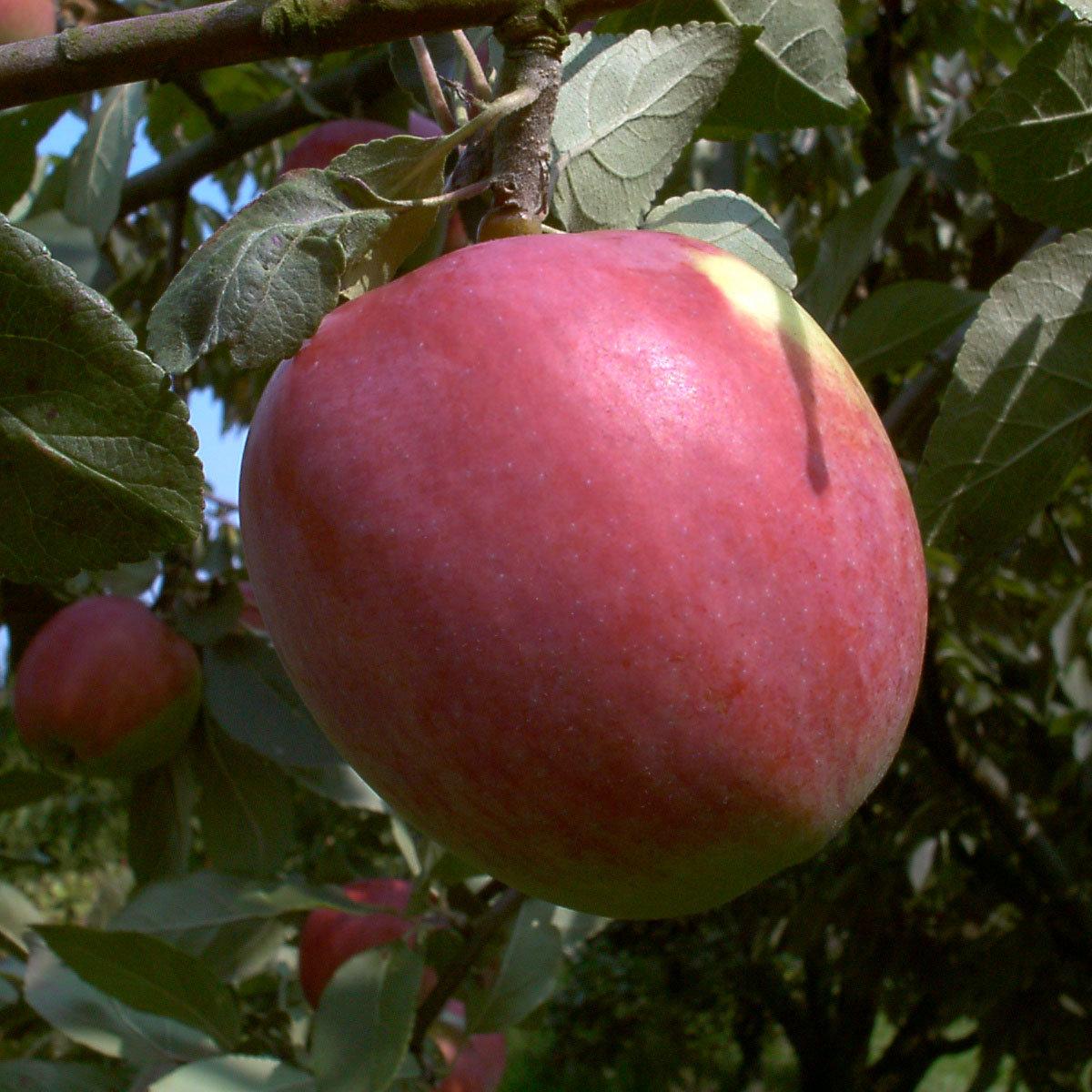 Apfel Jamba, 2-jährig