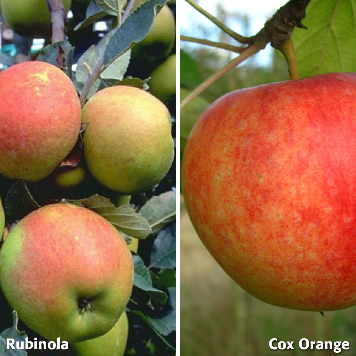Duo-Apfel Rubinola - Cox Orange, 2-jährig