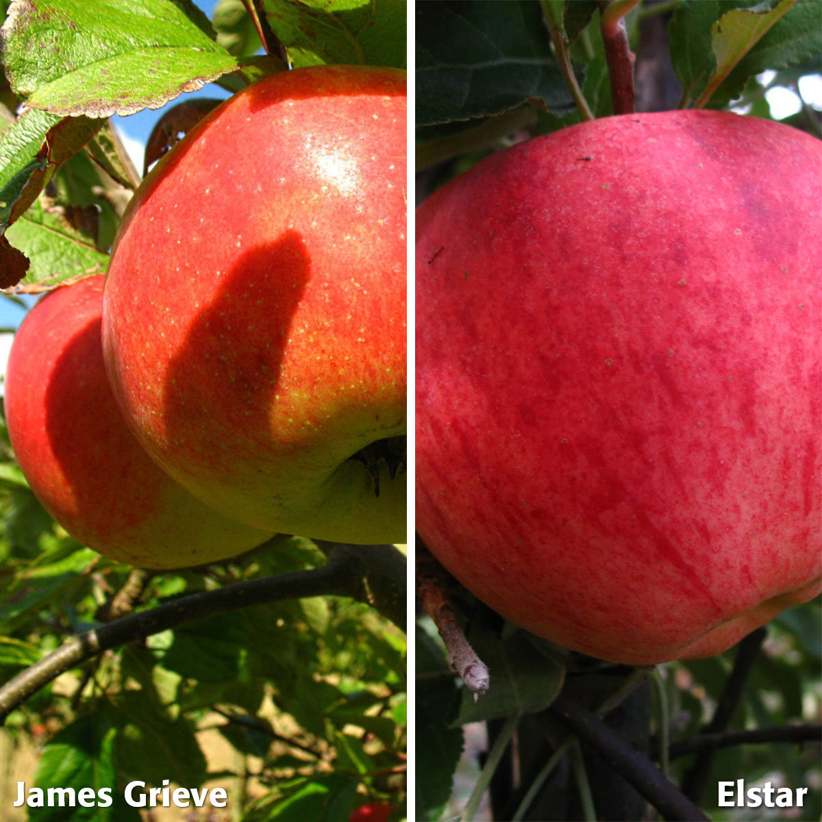 Duo-Apfel James Grieve - Elstar, 2-jährig