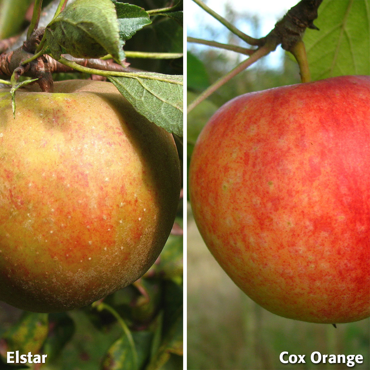 Duo-Apfel Holsteiner Cox - Elstar, 2-jährig