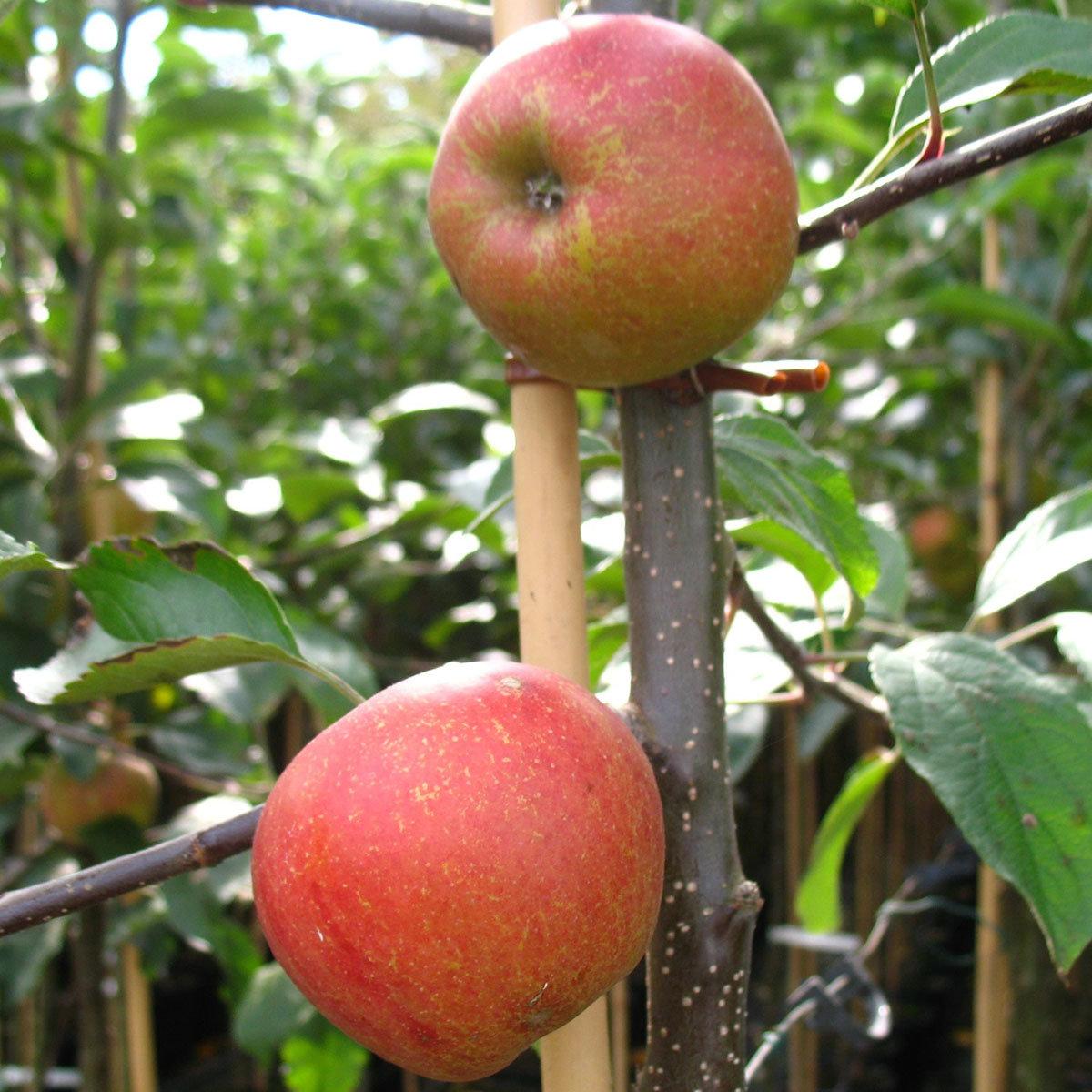 Apfel Rebella®, 2-jährig