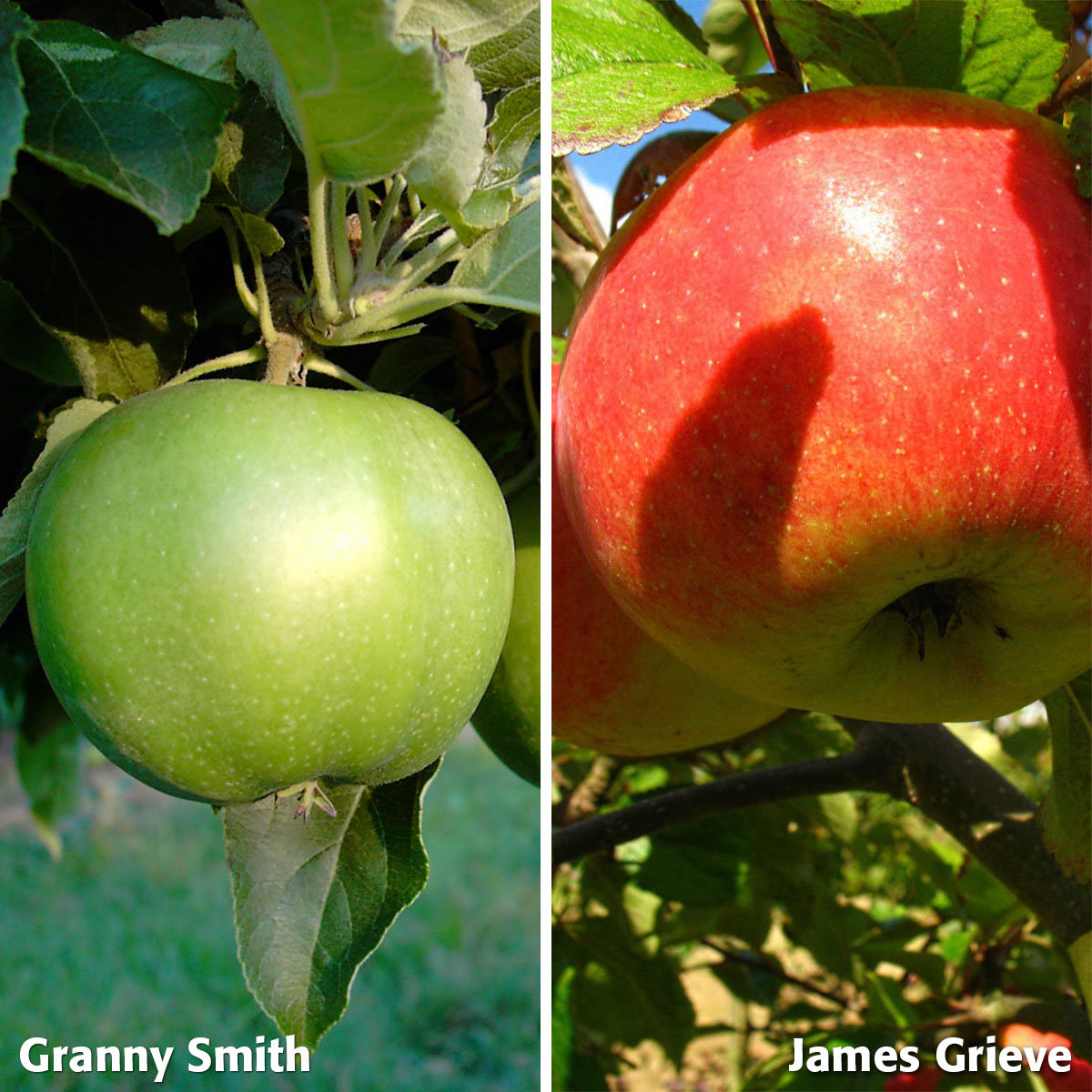 Duo-Apfel Granny Smith - James Grieve, 2-jährig