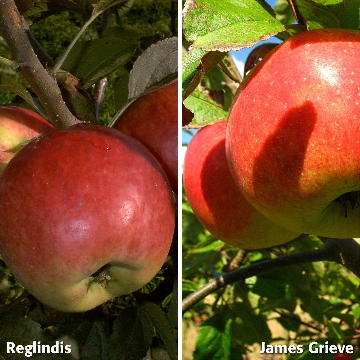 Duo-Apfel Reglindis - James Grieve, 2-jährig