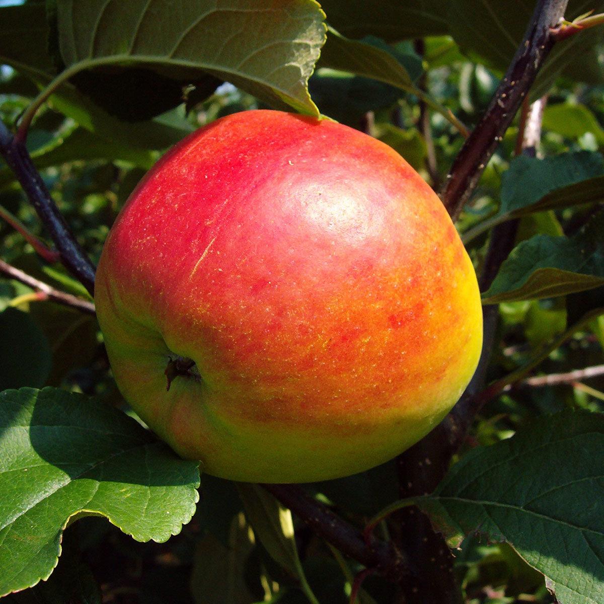 Apfel Gerlinde®, 2-jährig