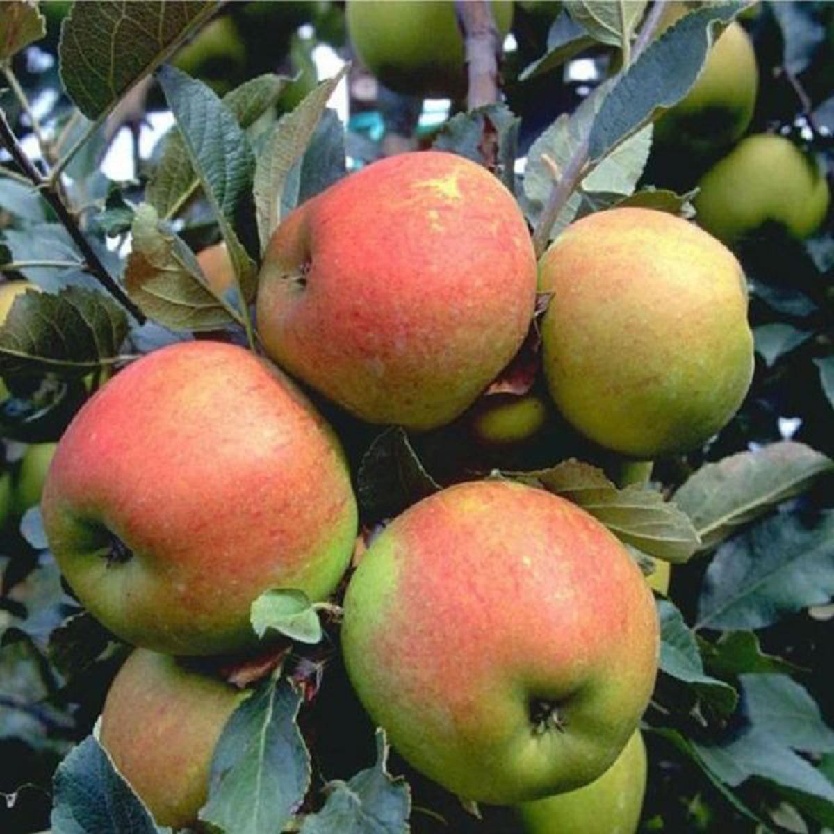 Apfel Rubinola®, 2-jährig