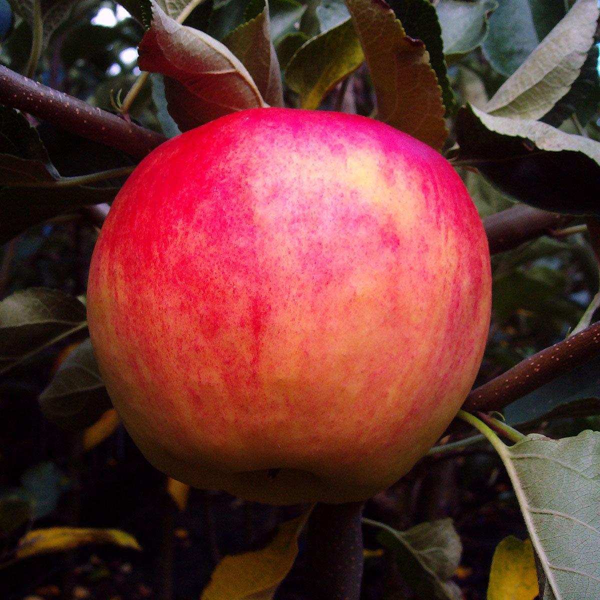 Apfel Piros®, 2-jährig