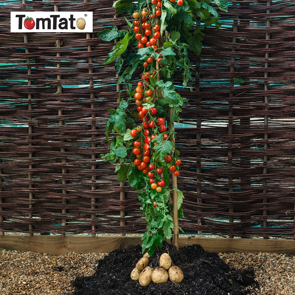 Tomaten-Kartoffelpflanze TomTato, veredelt