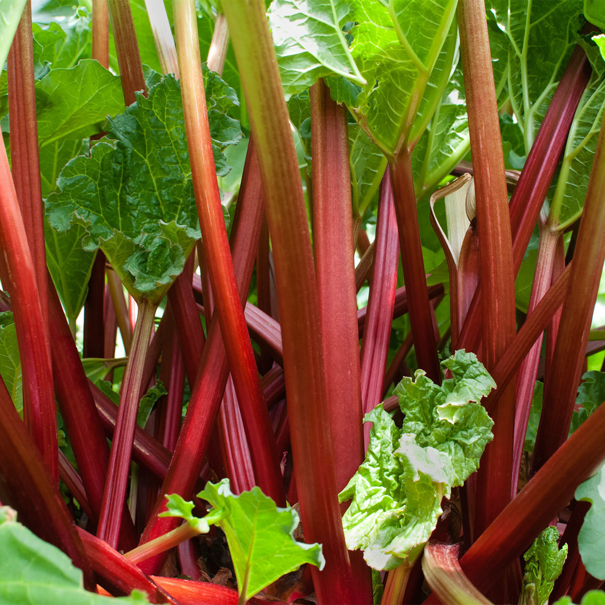 Rhabarberpflanze Livingstone, 2-Liter-Topf