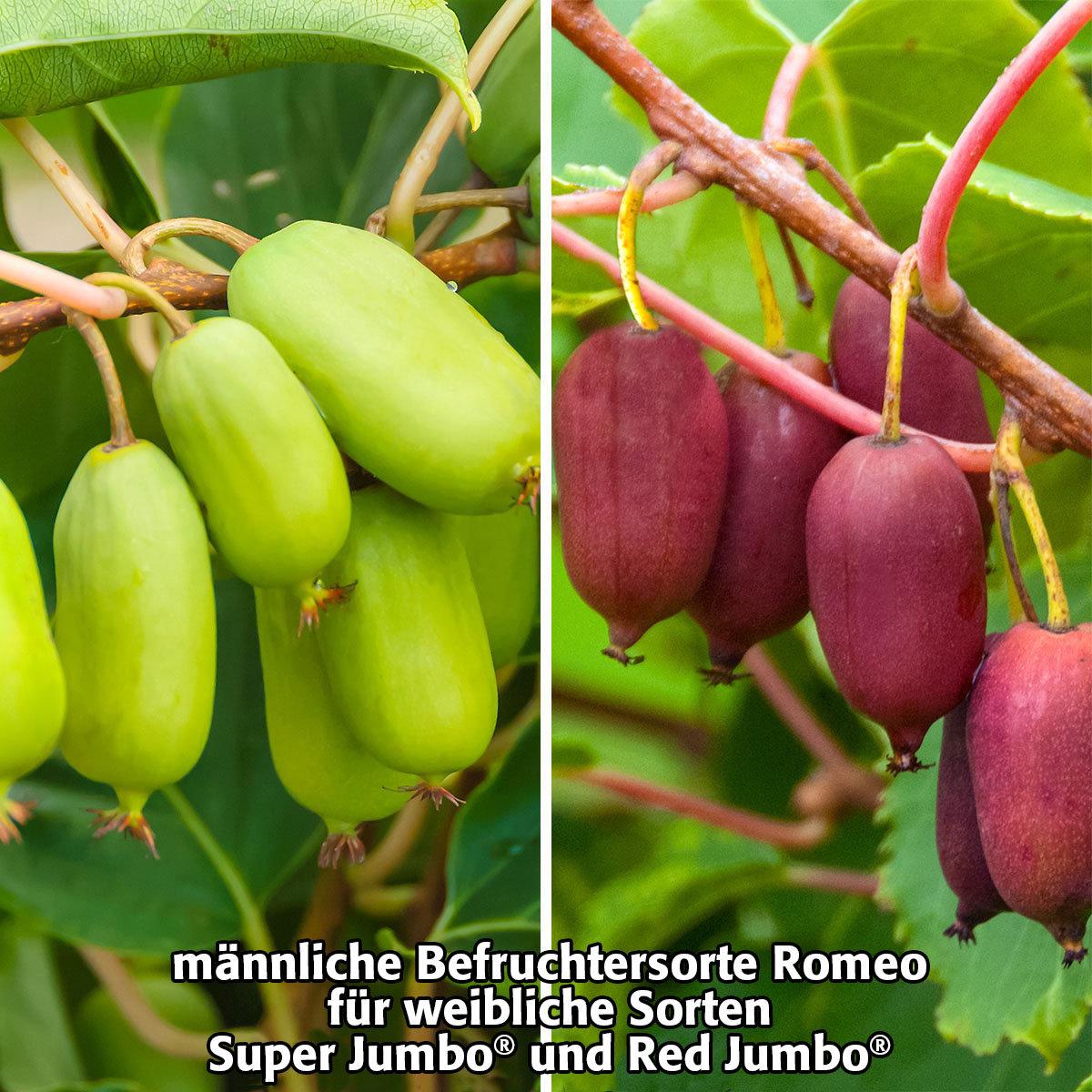 kiwi berry romeo online kaufen bei g rtner p tschke. Black Bedroom Furniture Sets. Home Design Ideas