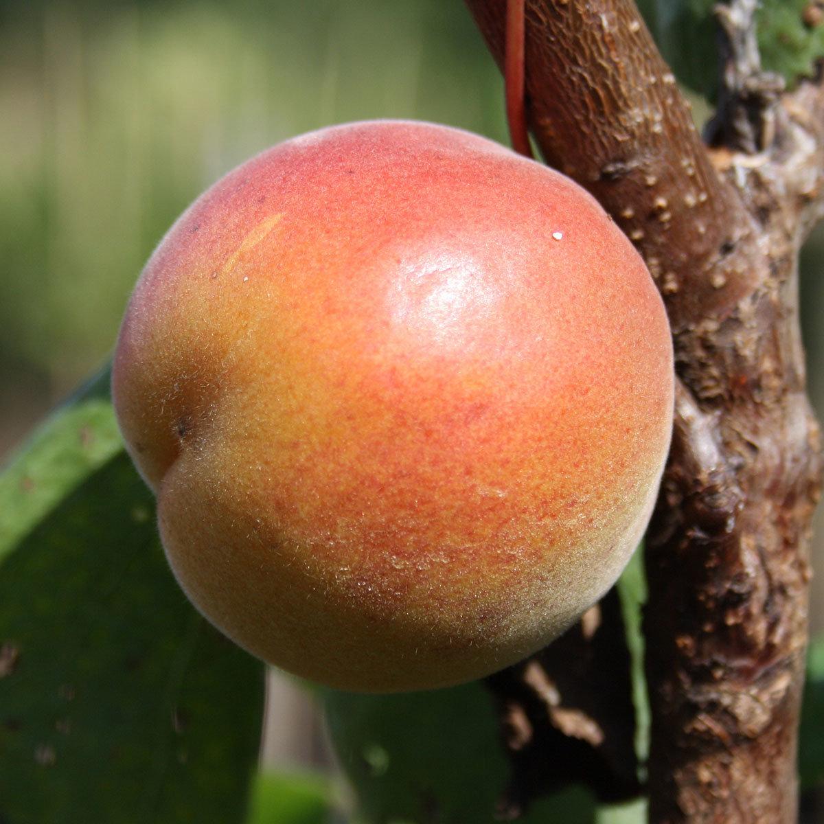 Aprikosen-Halbstamm Orangenaprikose Bhart, 2-jährig