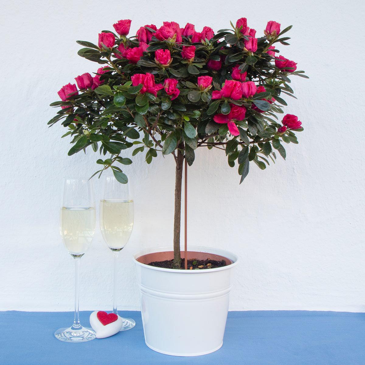 Azaleen-Stämmchen, Valentin, rosa