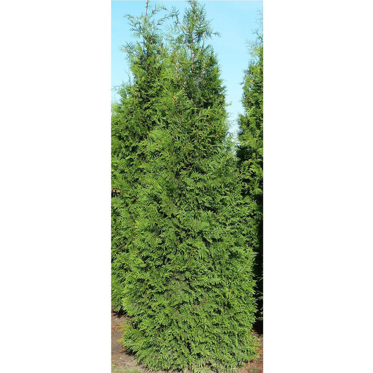 Lebensbaum Brabant, im 7,5-Liter-Topf