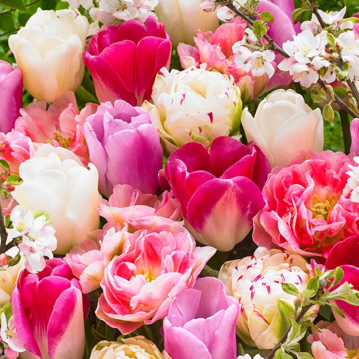 Gärtner Pötschkes Pink and White Tulpen Mischung