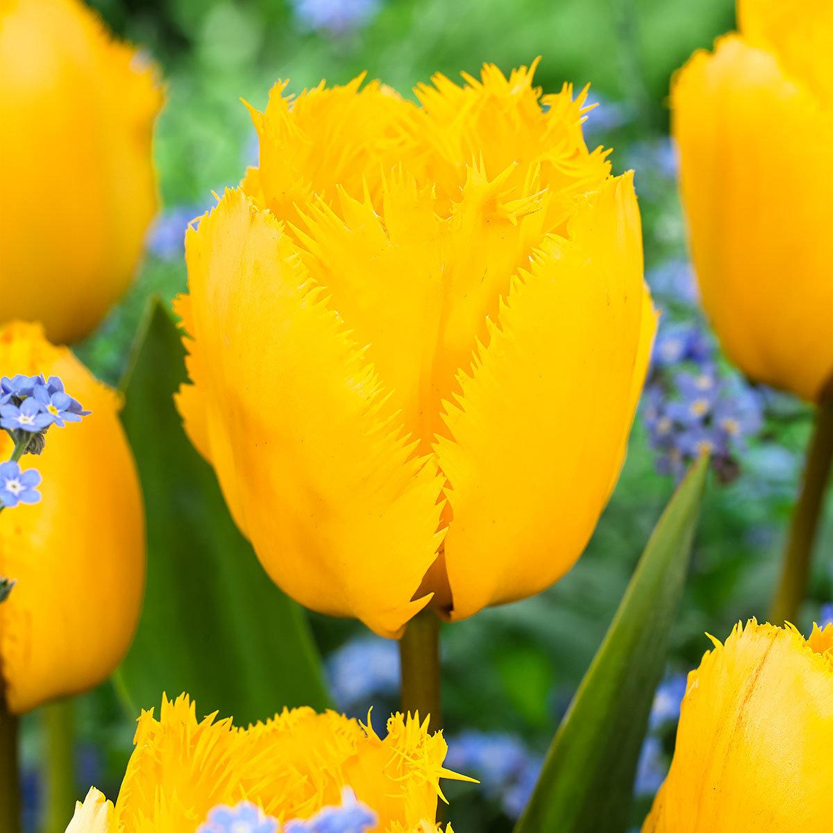 Tulpe Crystal Star