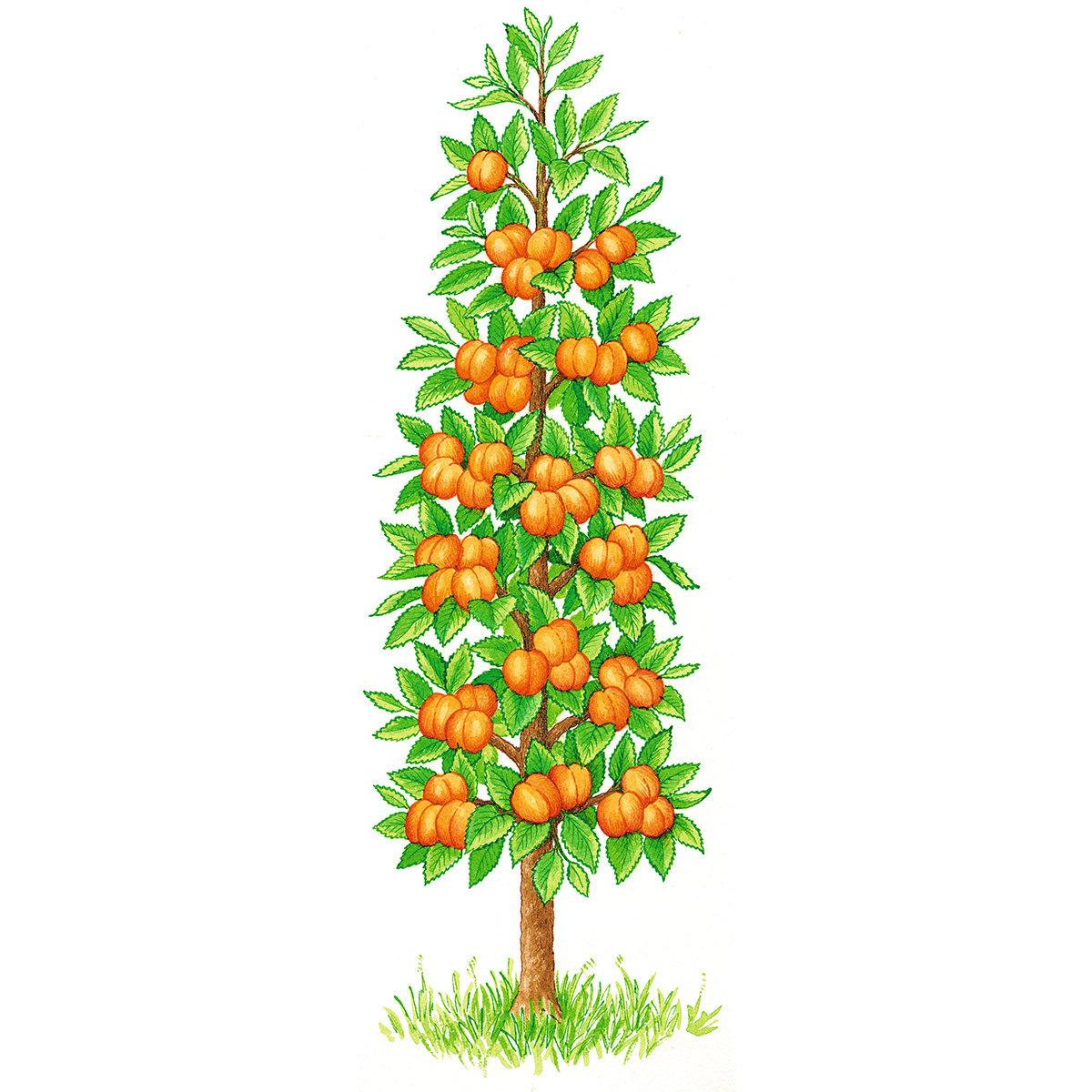 Säulen-Aprikose Orange