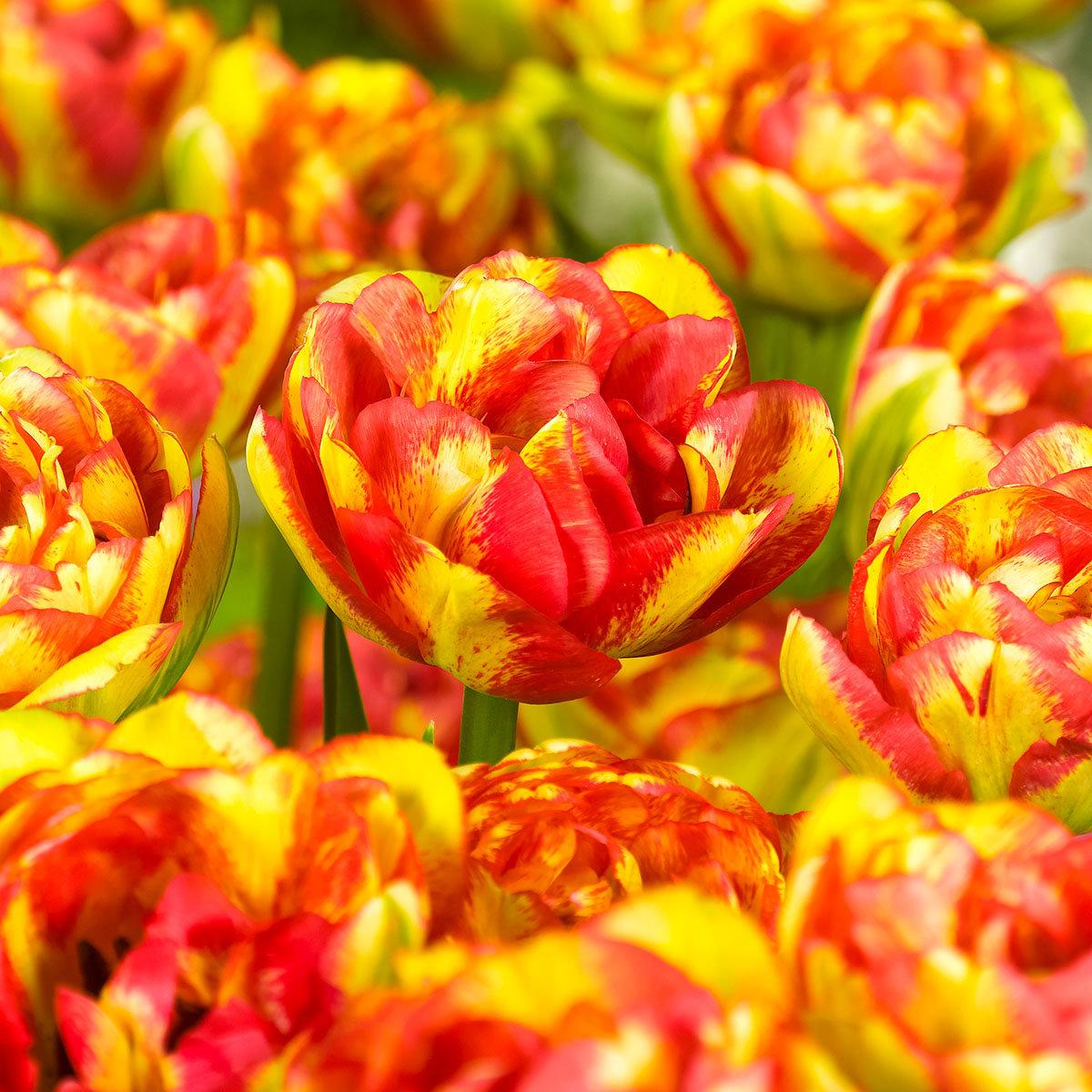 Tulpe Sundowner