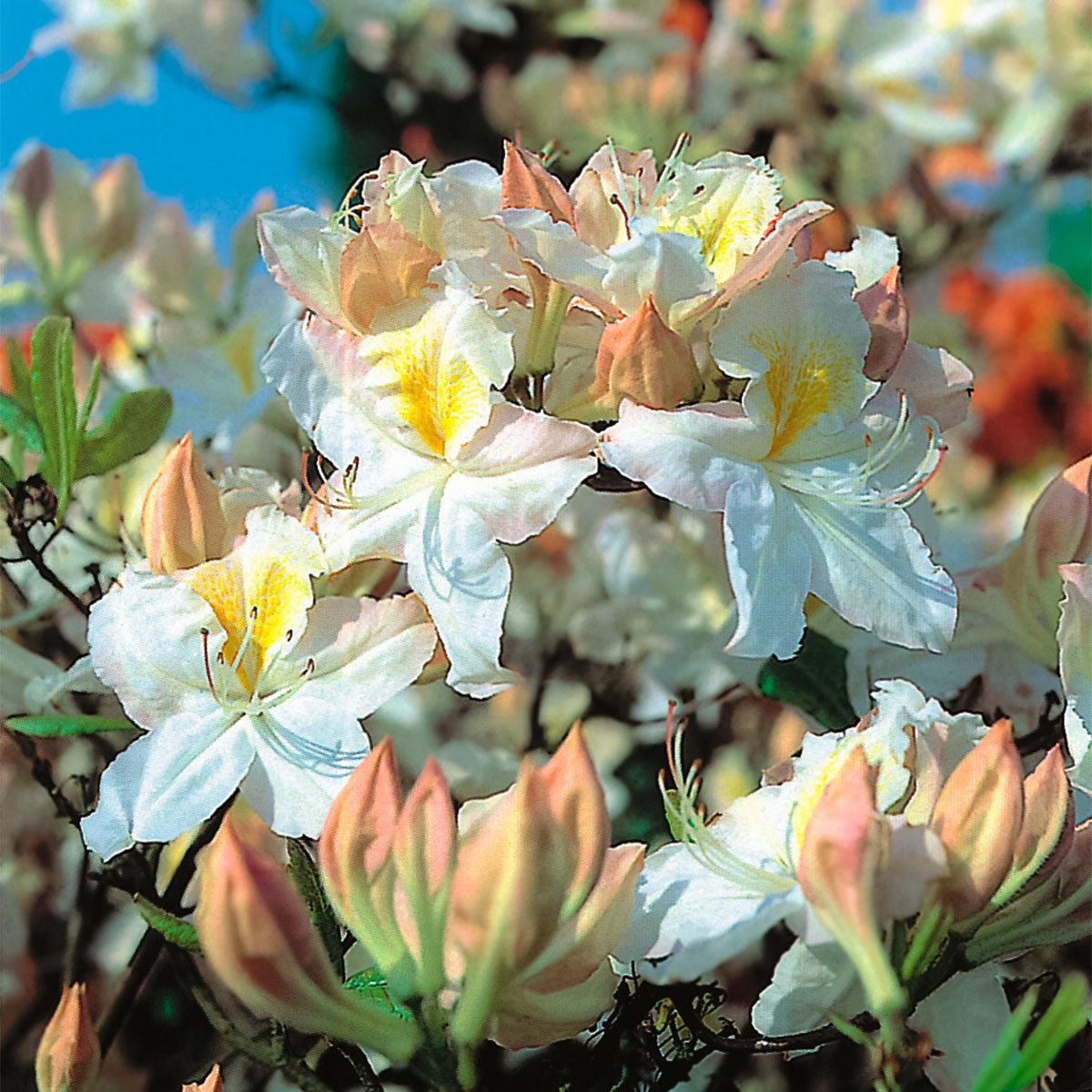 Garten-Azalee White Melody, im ca. 17 cm-Topf
