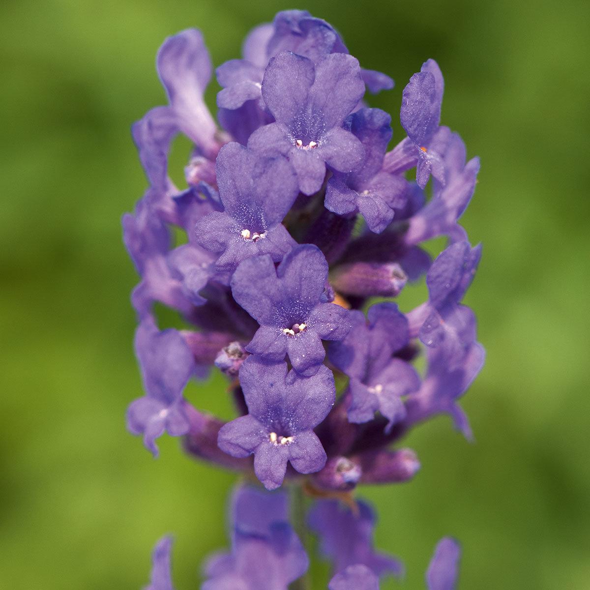Englischer Lavendel Folgate
