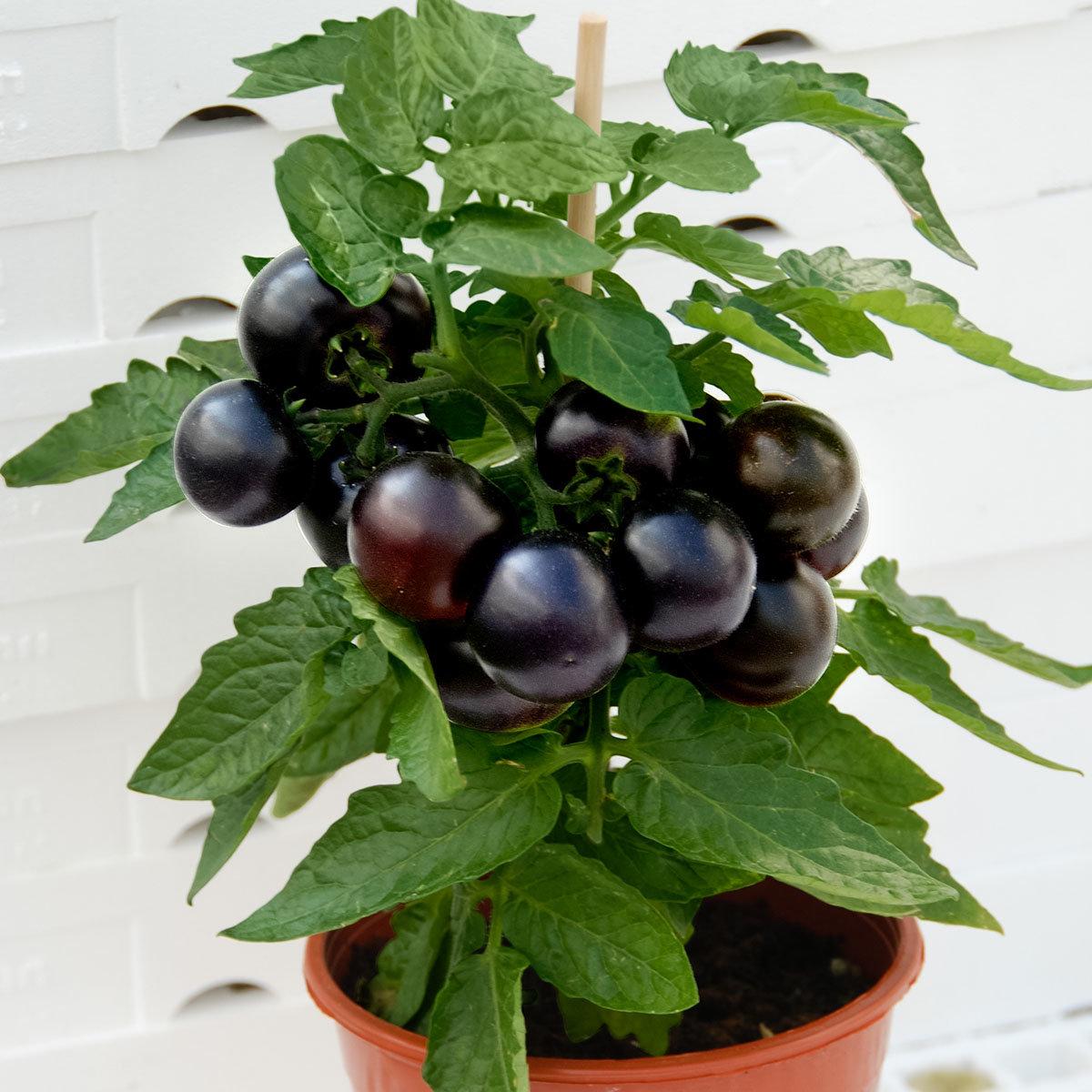 Tomatensamen Gärtner Pötschkes Black Patio F1