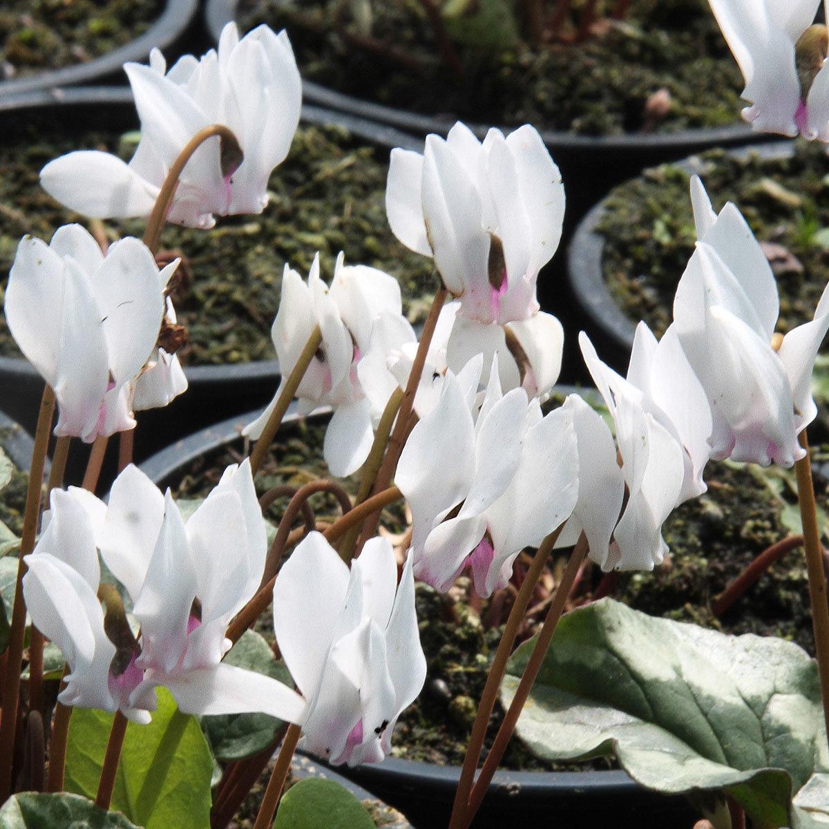 Herbst-Alpenveilchen, weiß, im ca. 9 cm-Topf