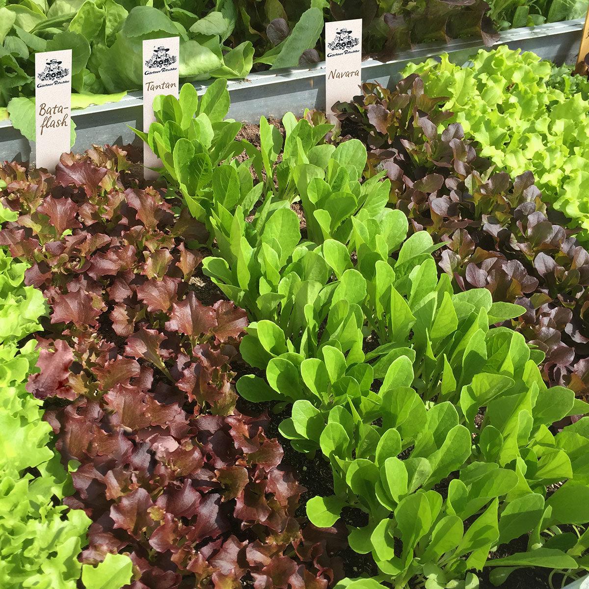 Saatplatten-Set Salatvielfalt, Hochbeet - und Balkonsalate