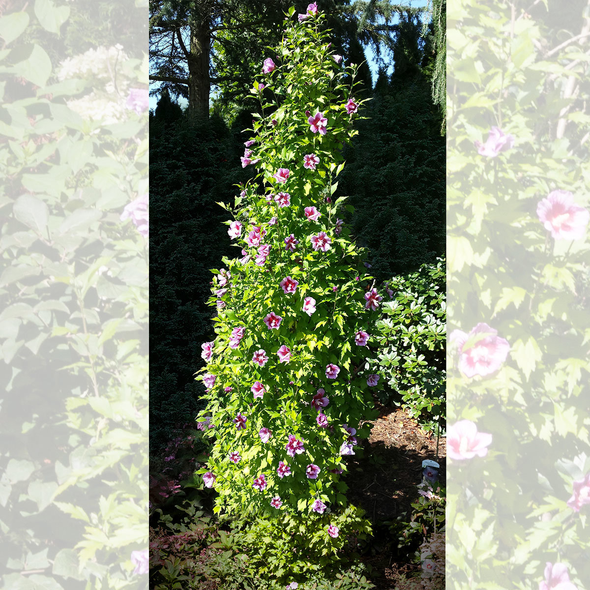 Säulen-Hibiskus Purple Pillar