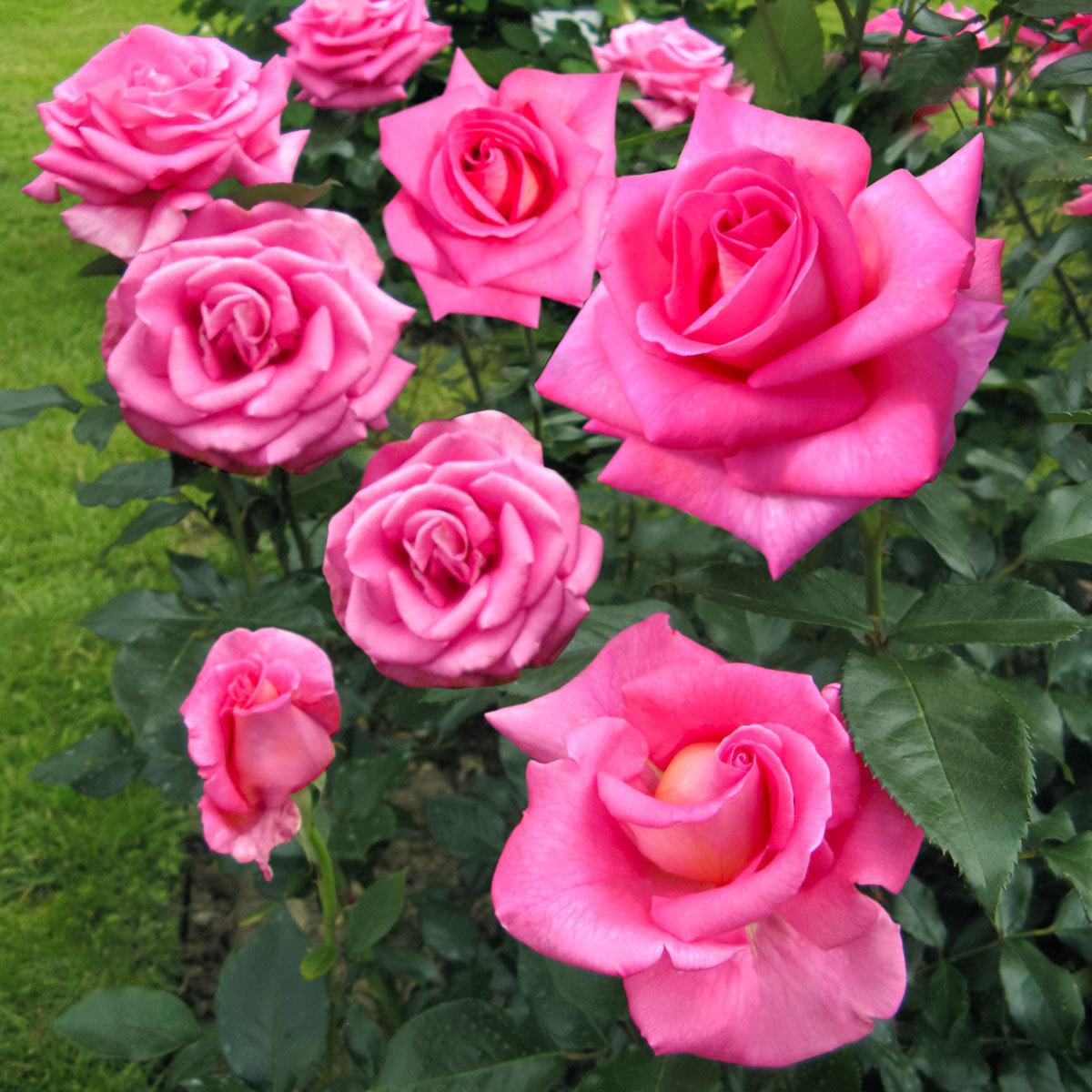 rose parfum royal von g rtner p tschke. Black Bedroom Furniture Sets. Home Design Ideas