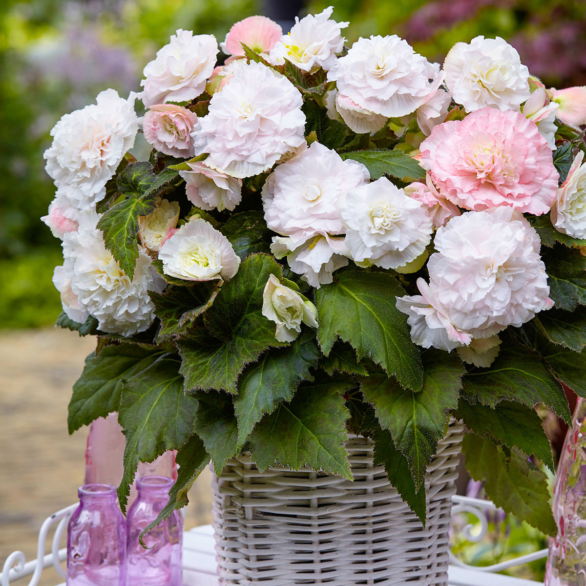 Bezaubernd Begonien Pflege Referenz Von Begonie Wummi Apfelblüte