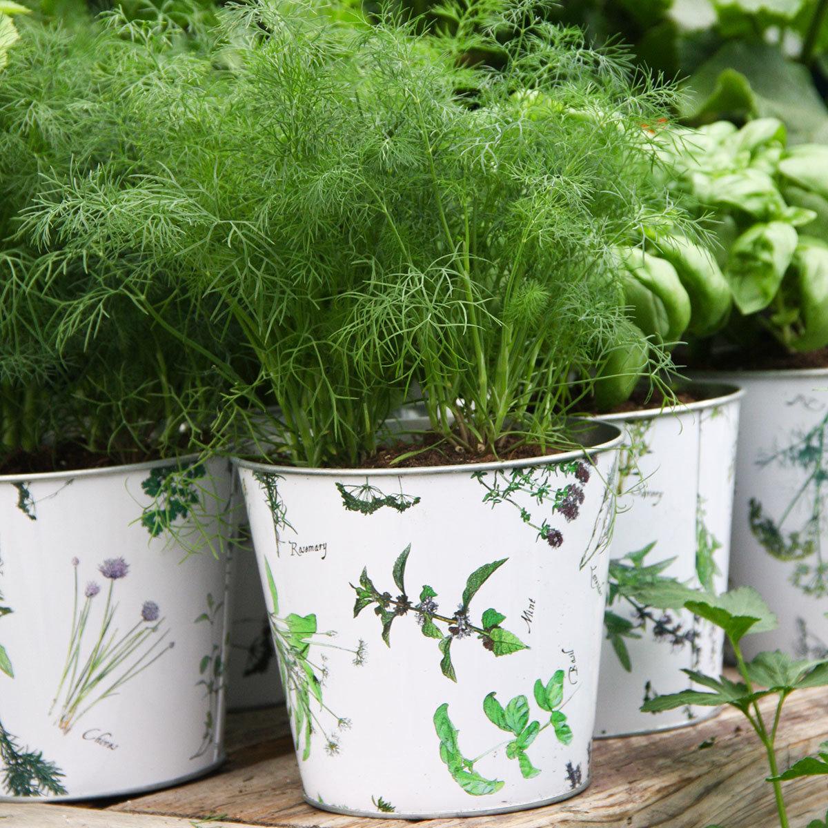 Garten- und Topf-Dill