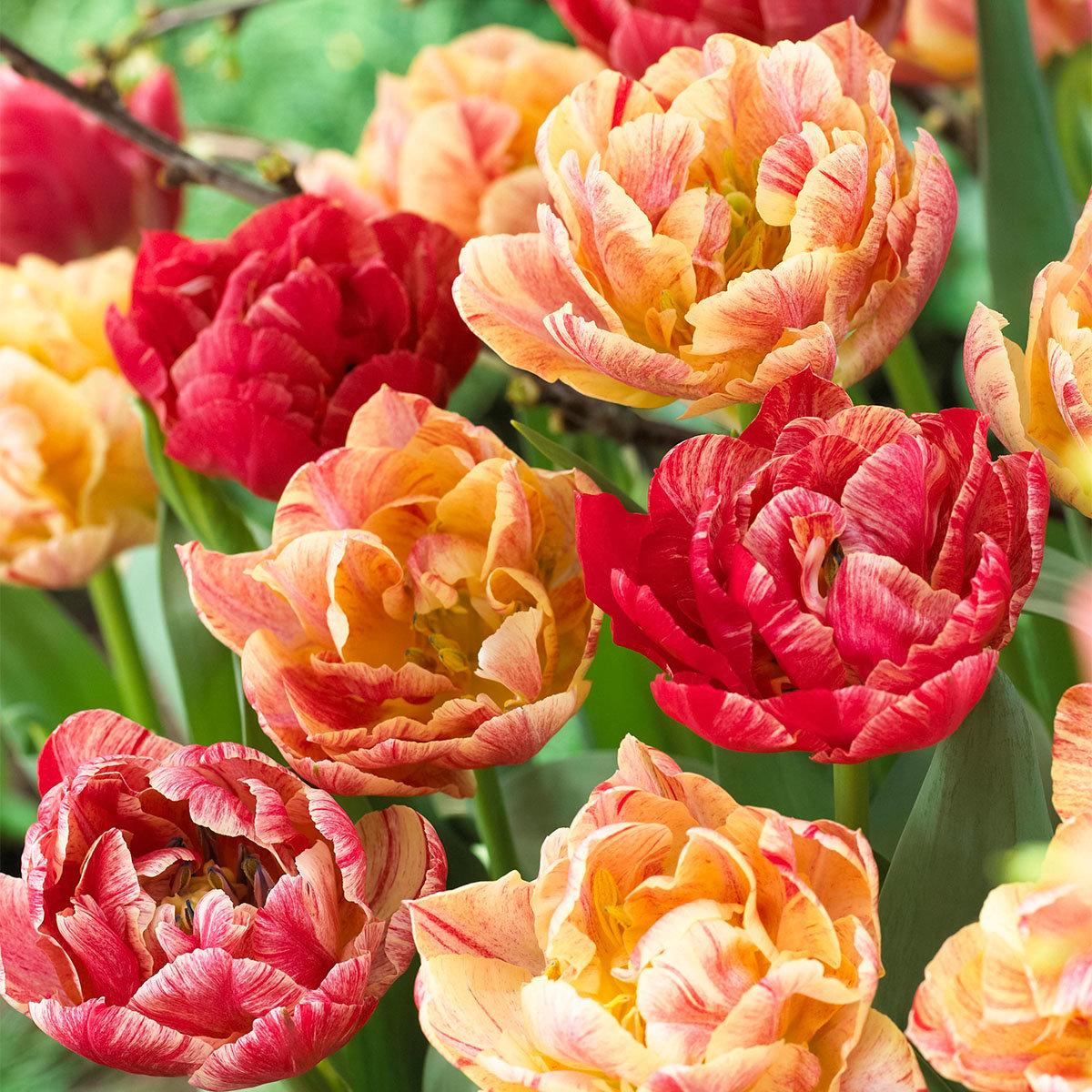 Tulpe Peptalk