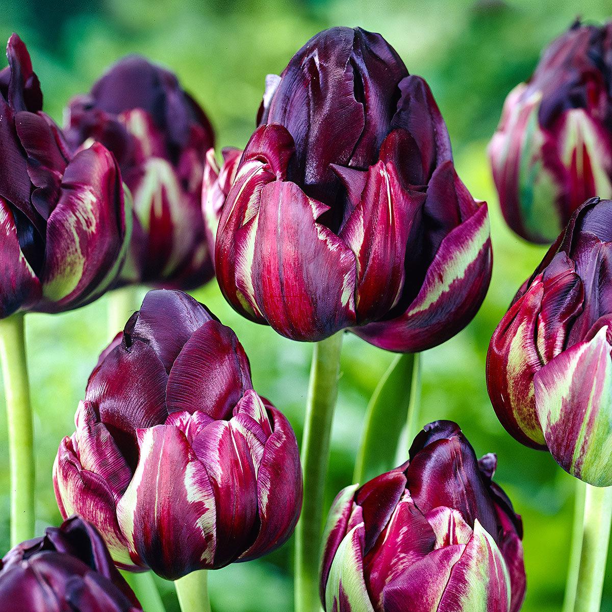 Tulpe Black Hero