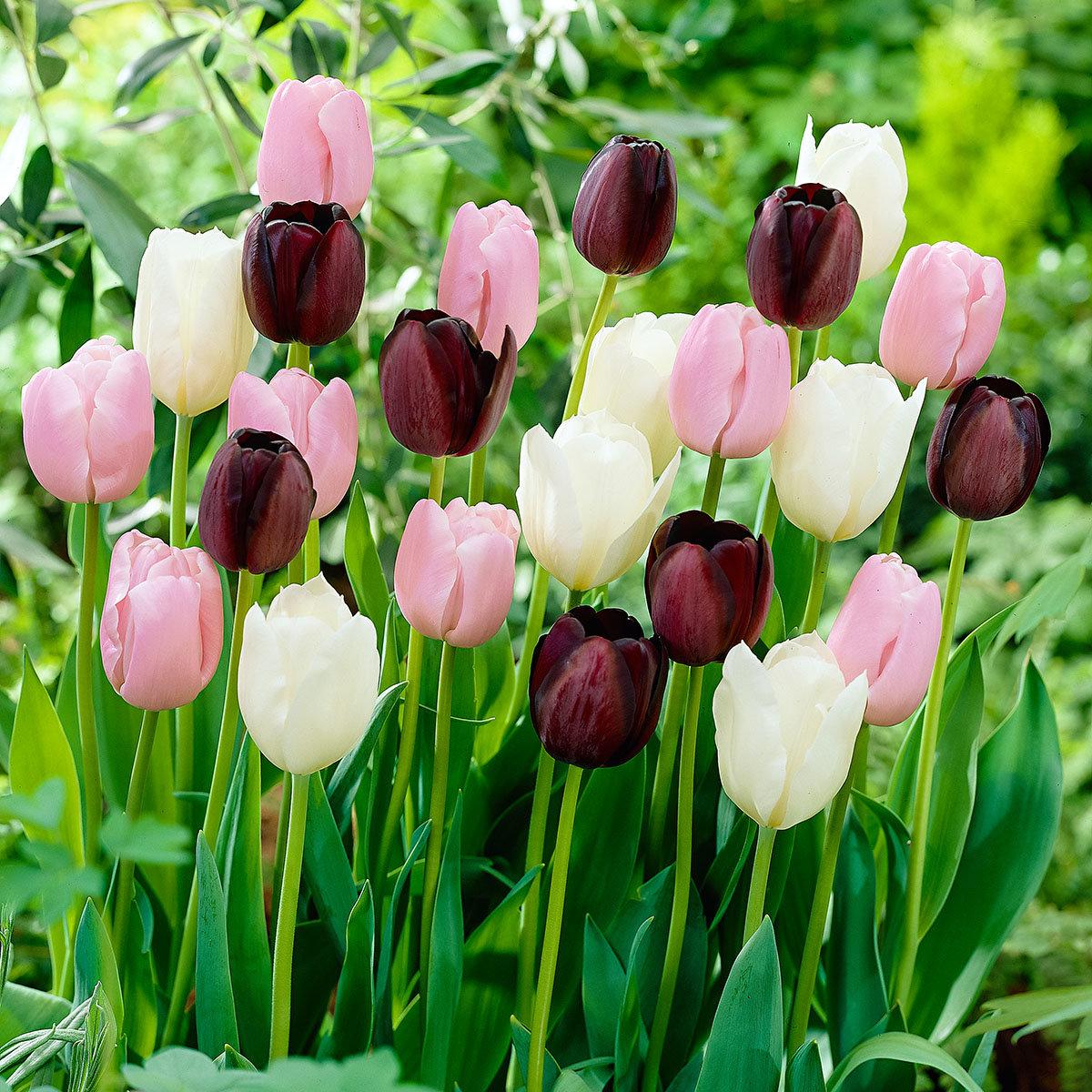 tulpen mischung mai tulpen online kaufen bei g rtner p tschke. Black Bedroom Furniture Sets. Home Design Ideas