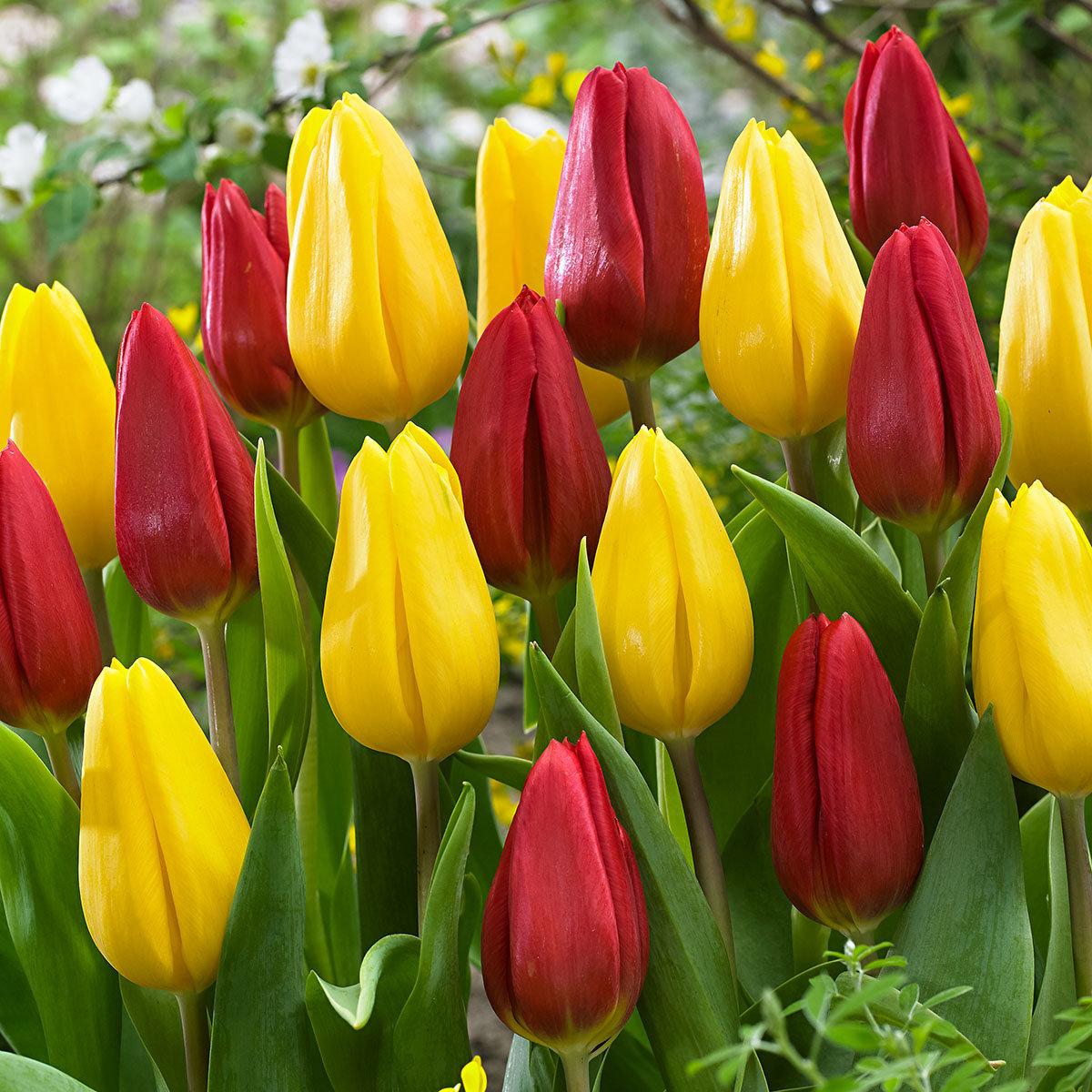 Tulpen-Mischung Blütenwunder
