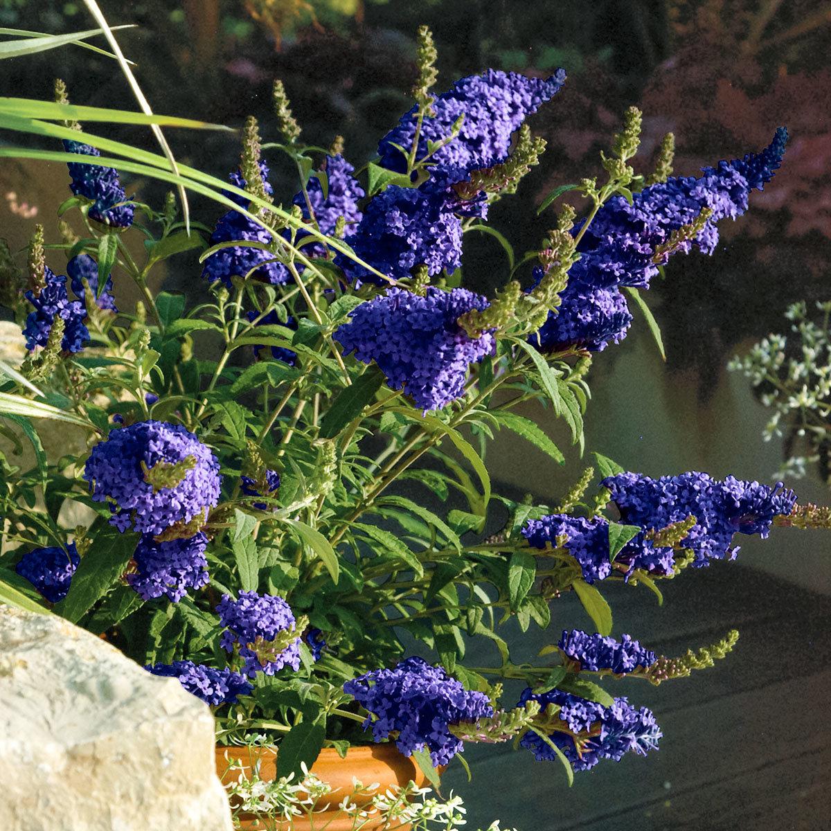 Kompakter Schmetterlingsflieder, blau