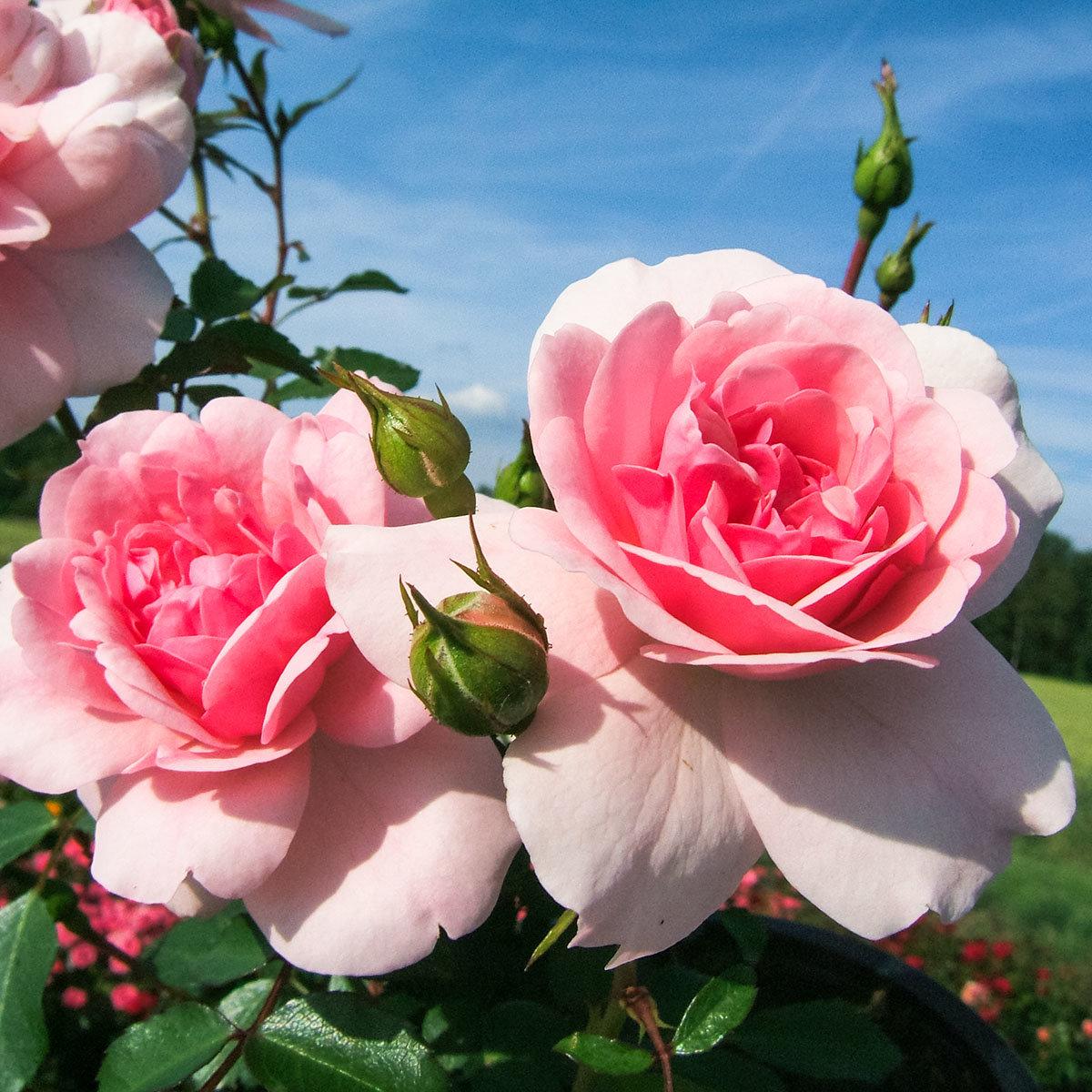 Rose Bonica, im 4,5-Liter-Topf