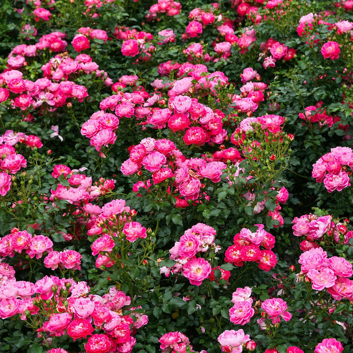 Rose Charmant, im 3,5-Liter-Topf