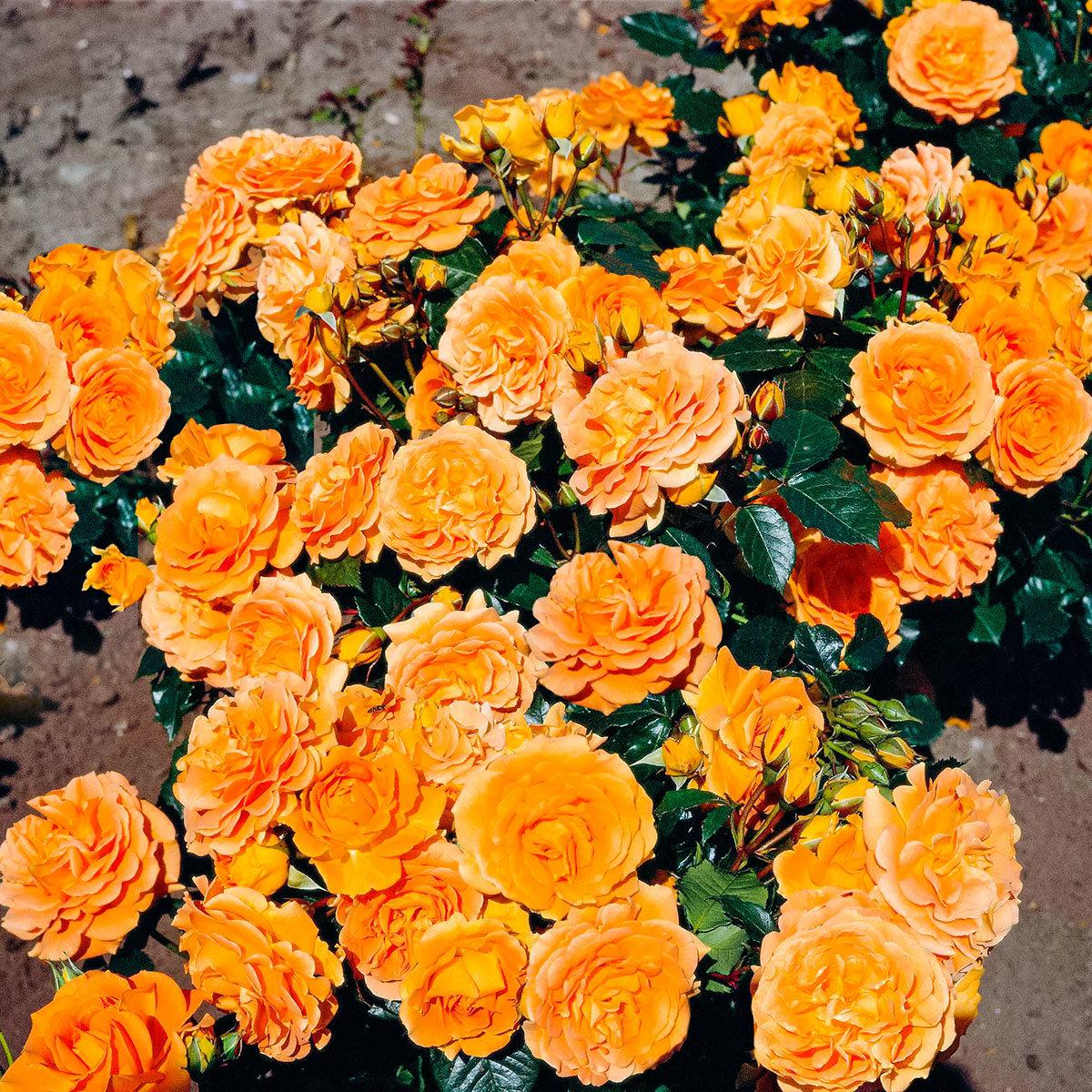 Rose Goldelse, im 4,5-Liter-Topf