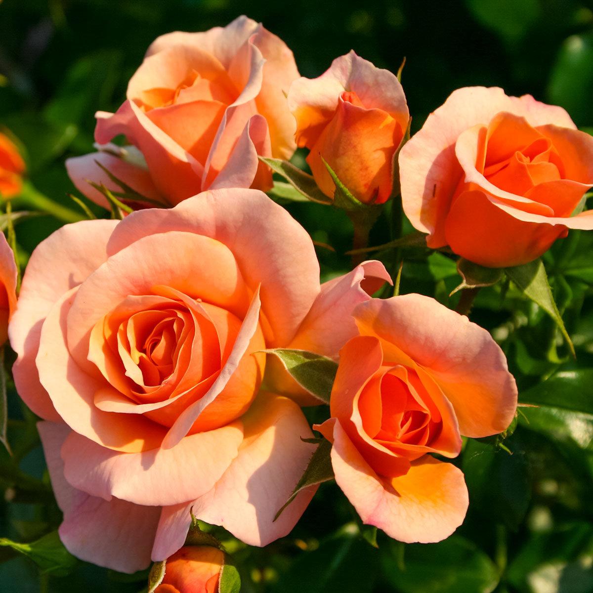 Rose Aprikola®, im 5-Liter-Topf