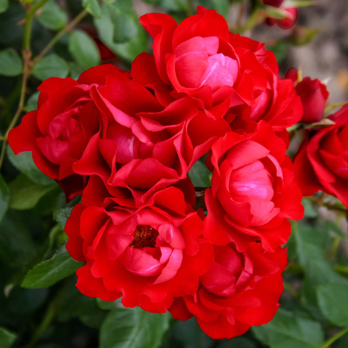 Rose Black Forest Rose®, XL-Qualität