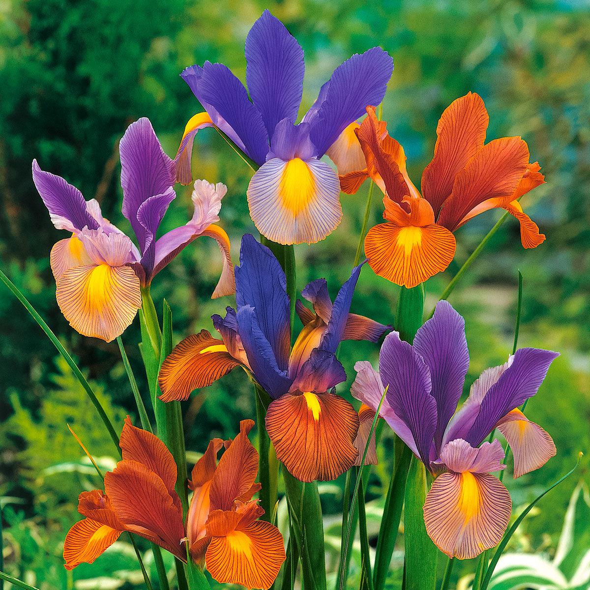 Holländische Iris Tiger Stripe Mischung