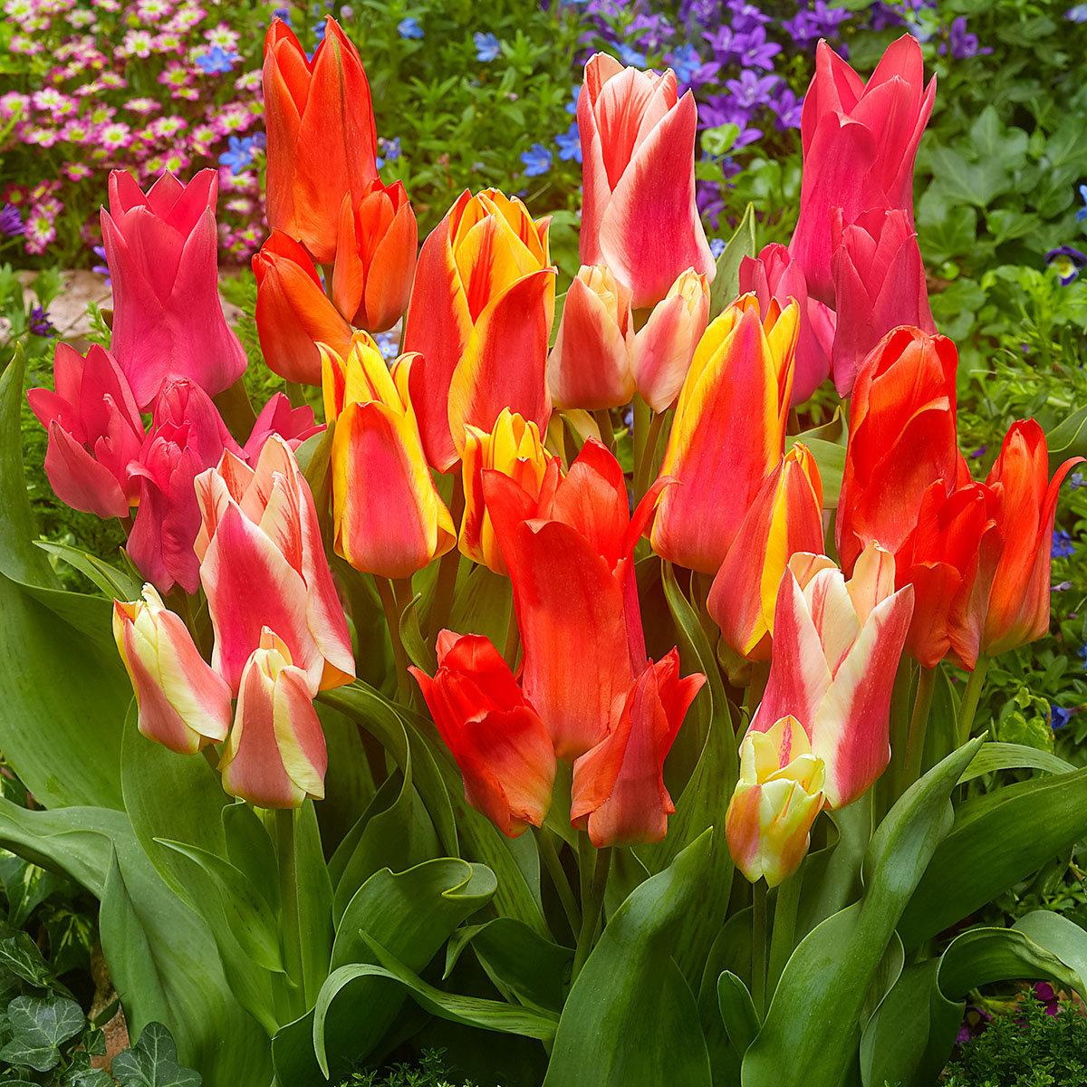 Tulpen-Mischung Canadian Cities